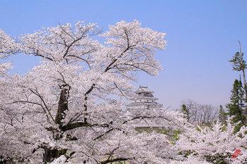 鶴ヶ城の桜.jpg