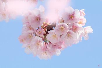 早咲きの桜.jpg
