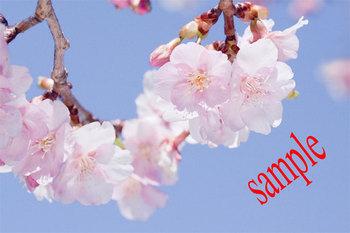 桜 .jpg