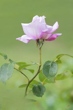 花の王.jpg